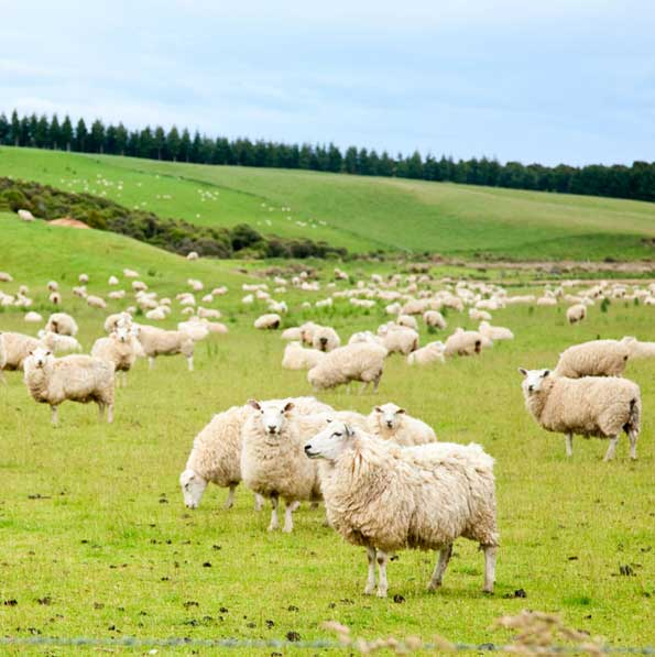 Takanini Feeds - Sheep Feed Provider
