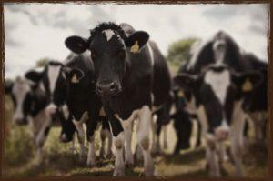 Calf Feeders For Sale
