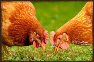 Poultry Feed Online