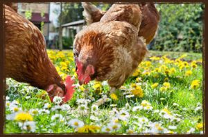 Buy Poultry Feed Online