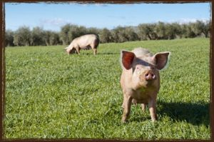 Commercial Pig Feed
